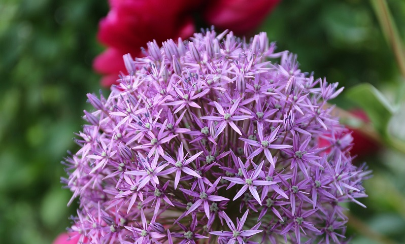 beautiful alliums